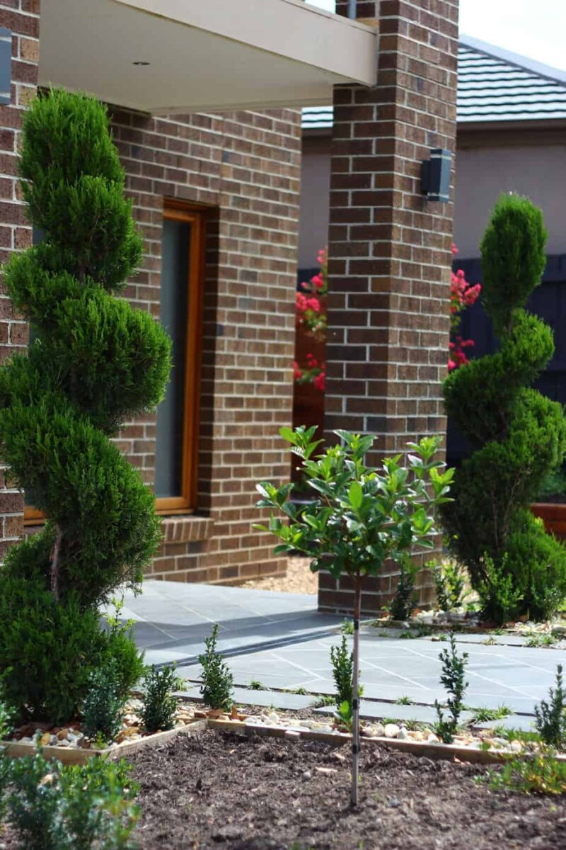 Closeup of spiral conifer in Ashburton garden design