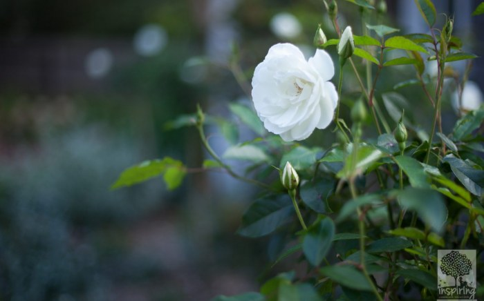 White iceberg rose in Blackburn landscape design