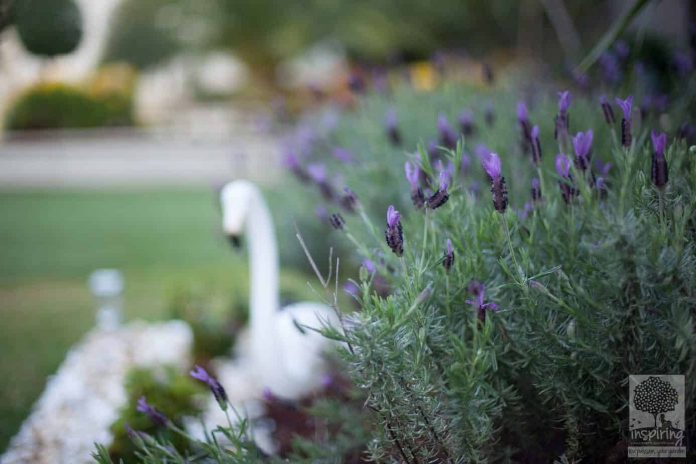 Lavender patch in Brighton landscape design