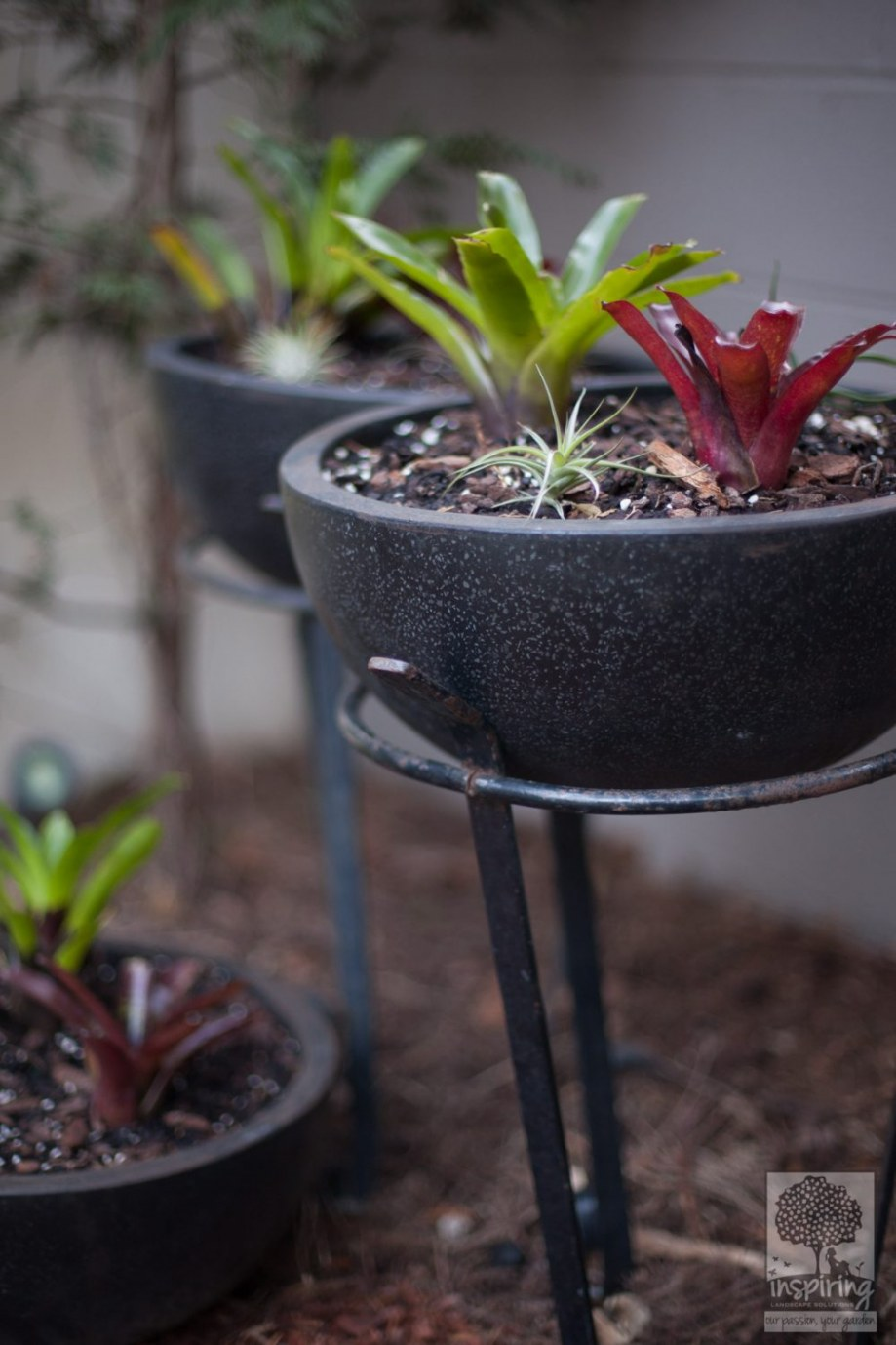 Closeup of bromeliads in black pots used in Brighton landscape design