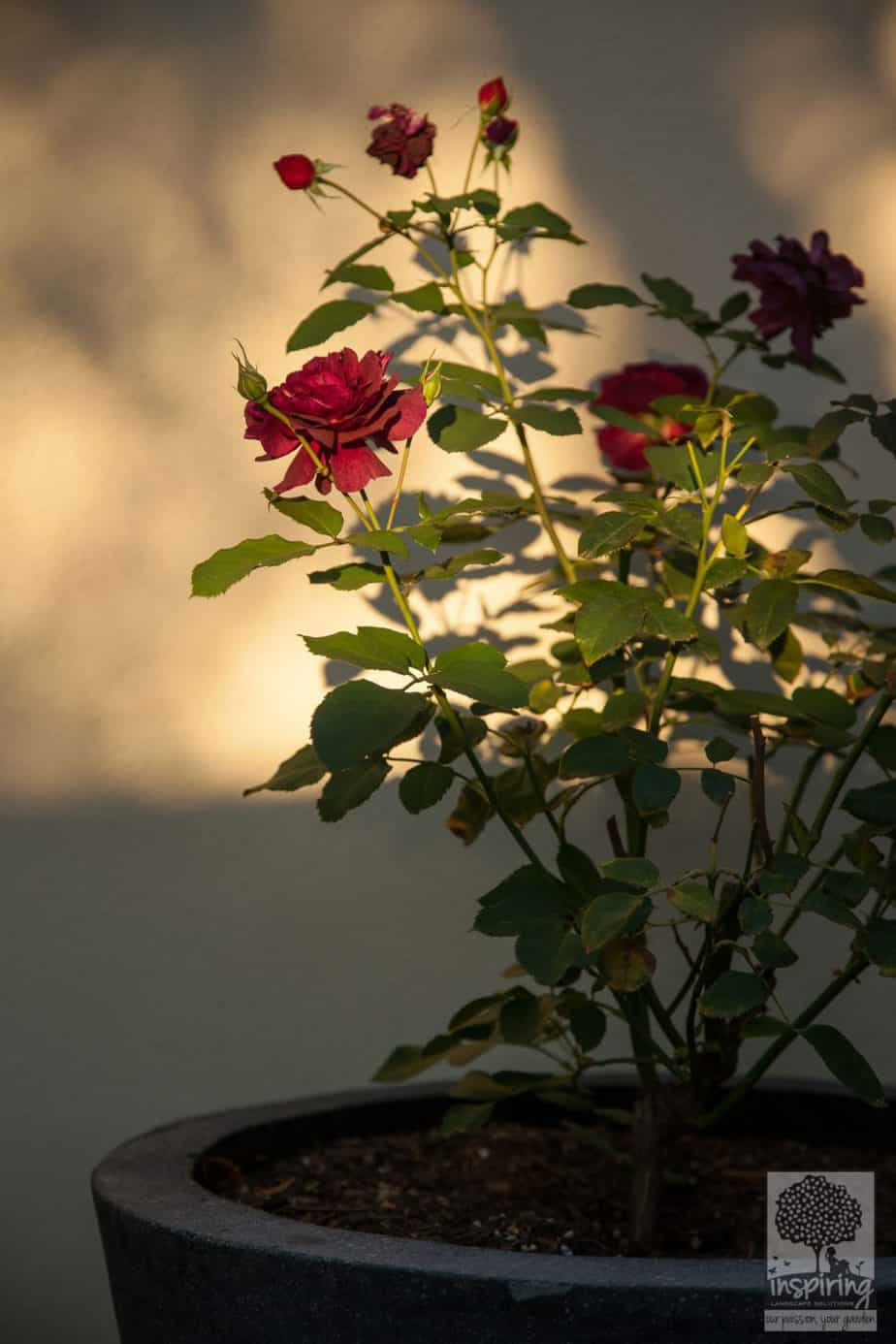 Red rose in pot in the evening dusk