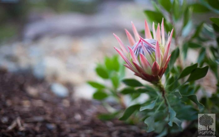 Red king protea in Glen Waverley landscape design