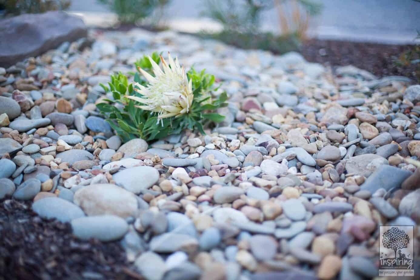 White dwarf protea in Glen Waverley landscape design