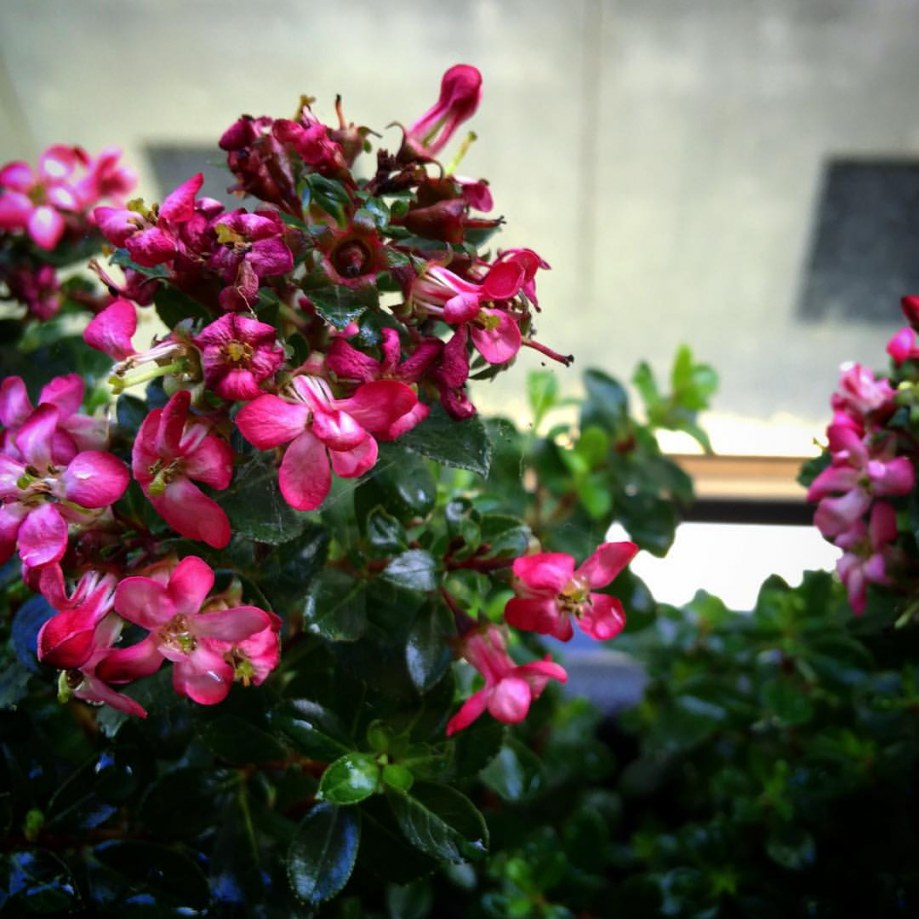Pink flowers in Mount Waverley balcony garden design by Inspiring Landscape Solutions