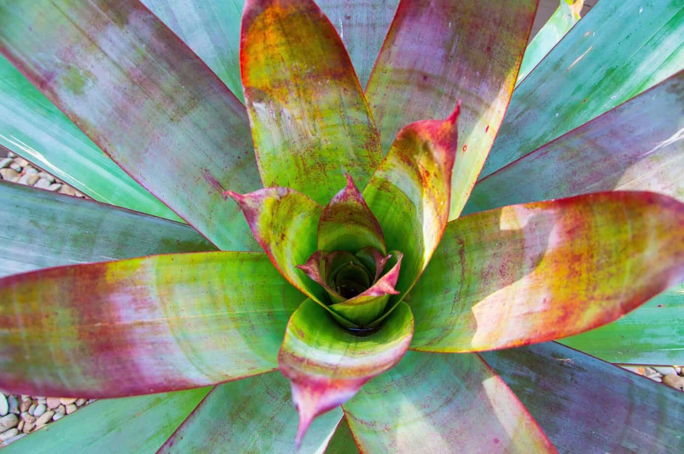 Top view of large bromeliad used in Doncaster East landscape design