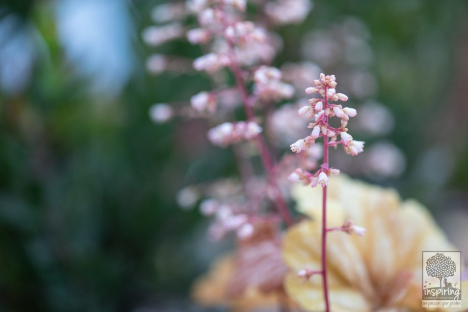Closeup of champagne heuchera used in the front garden design in Camberwell