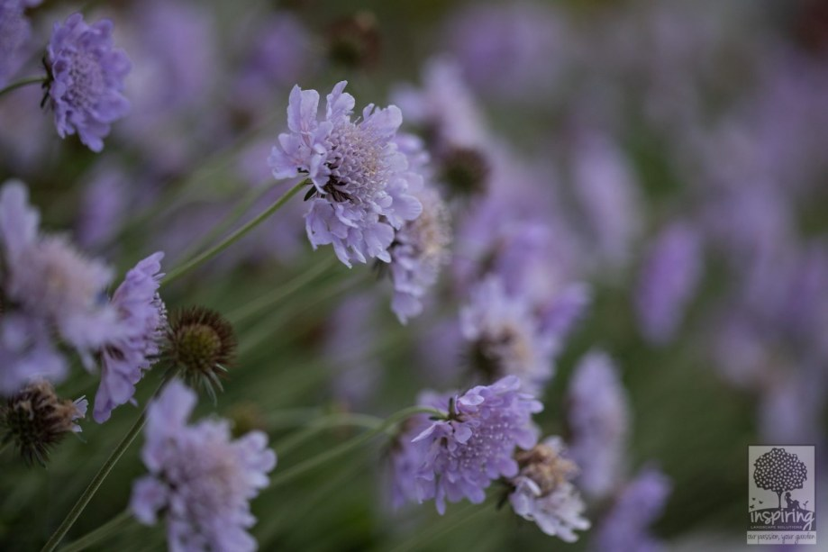 Closeup of scabiosa perennial plant used in the front garden design in Camberwell
