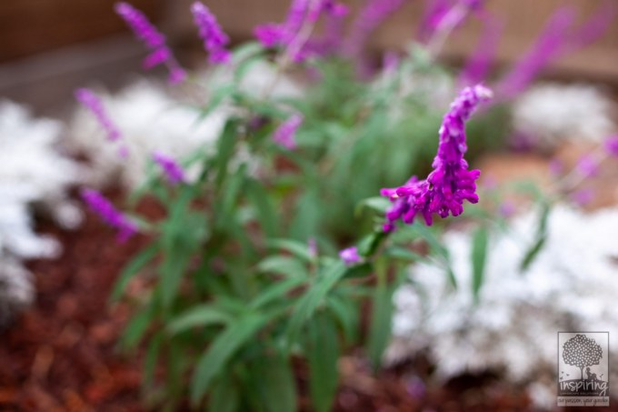 Salvia used in Vermont South landscape design