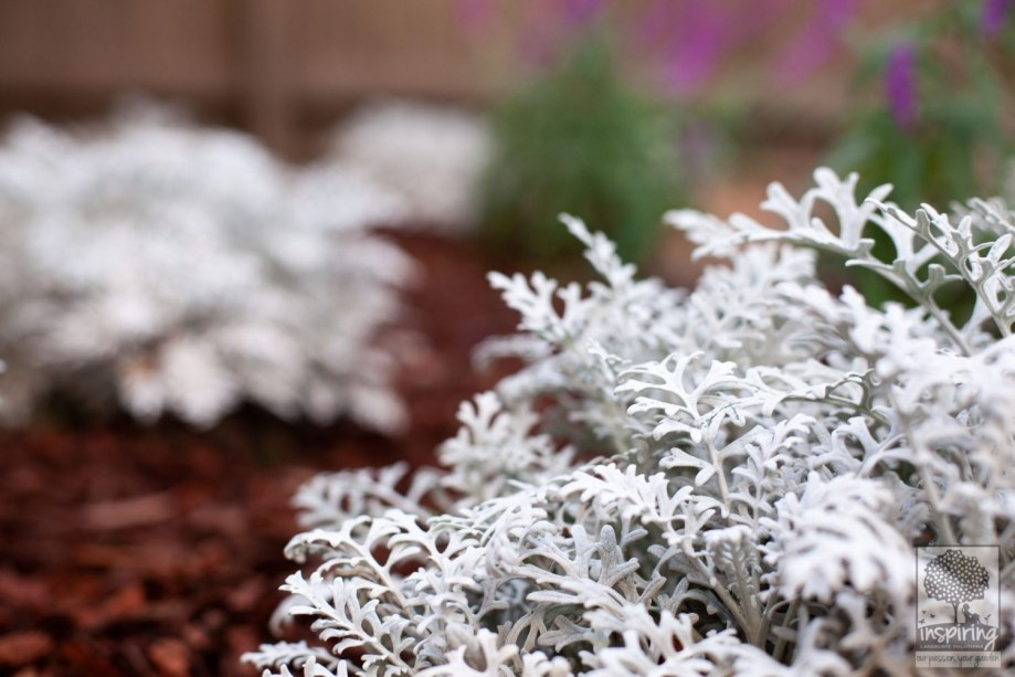Senecio cineraria in Vermont South landscape design