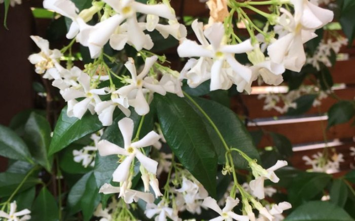 Closeup of jasmine used in Vermont South garden design