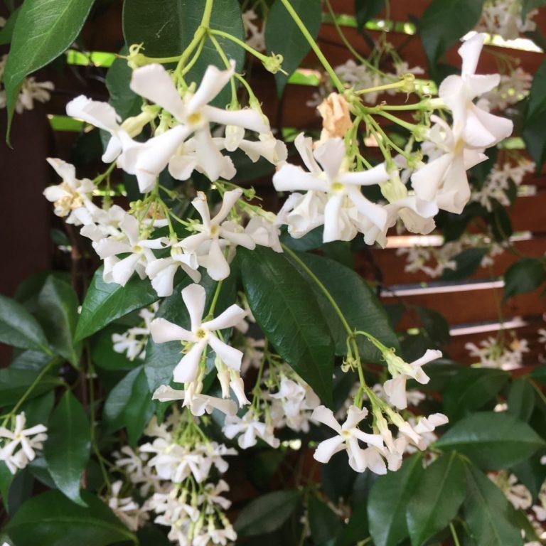 Closeup of jasmine used in Vermont South garden design