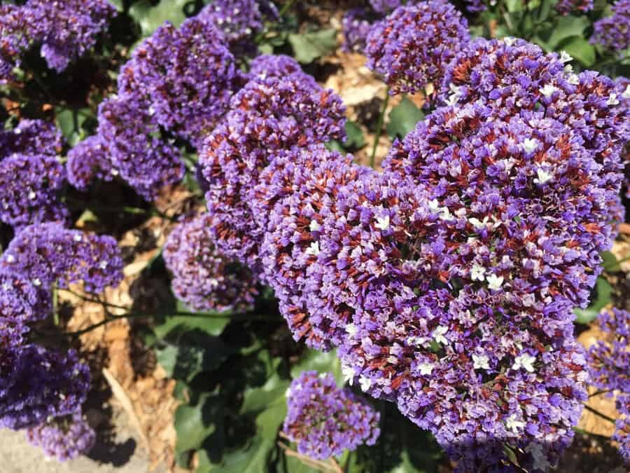 Closeup of limonium perezii in Surrey Hills landscape design