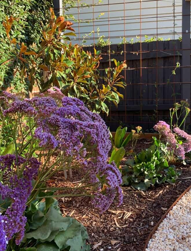 Limonium perezii in Surrey Hills landscape design