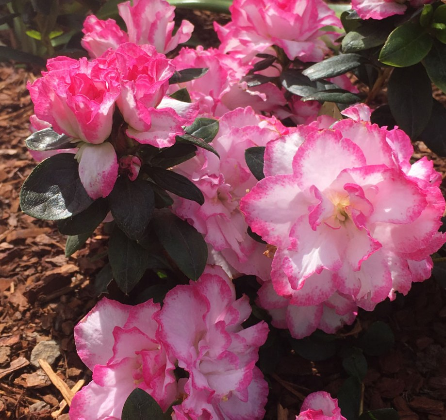 Pink and white azalea in Surrey Hills landscape design