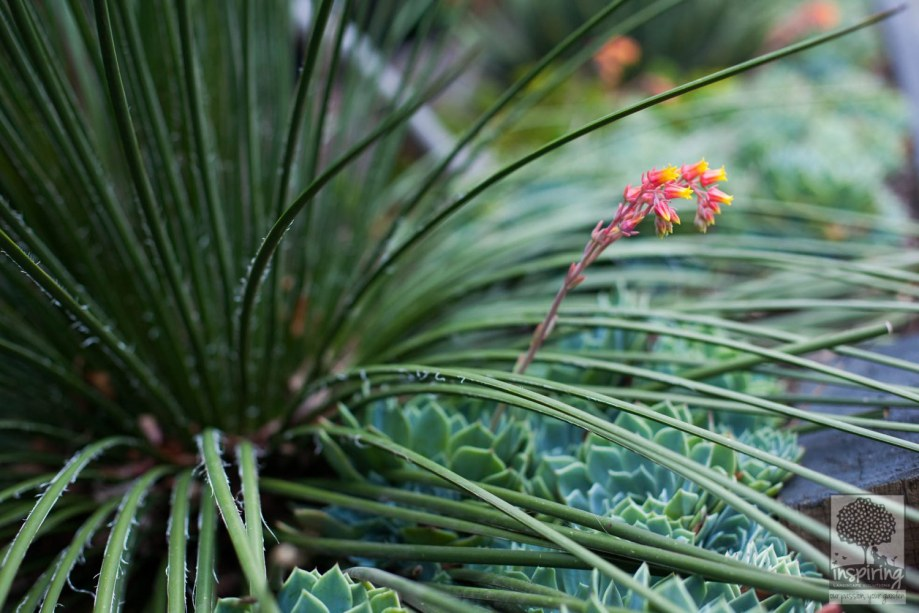Close up of agave and echeveria succulents used in Vermont South landscape design