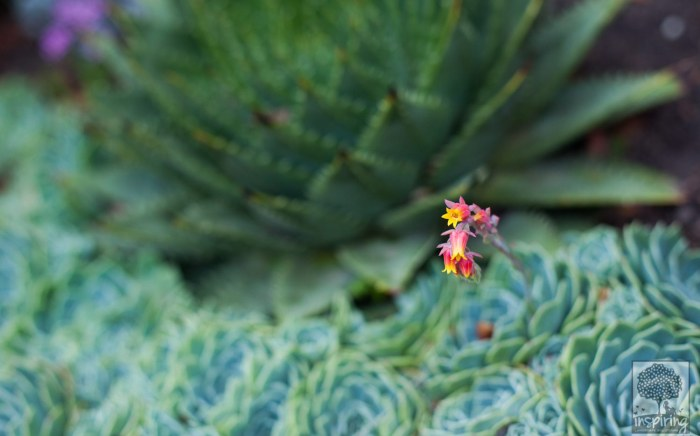 Close up of aloes and echeveria succulents used in Vermont South landscape design