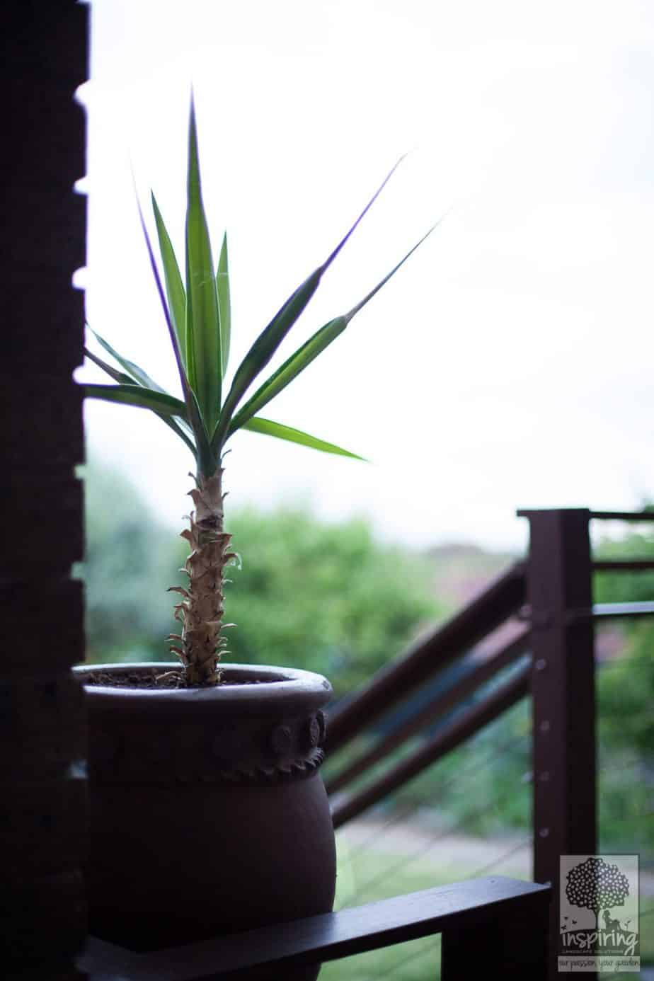 Yucca in pot in Vermont South landscape design