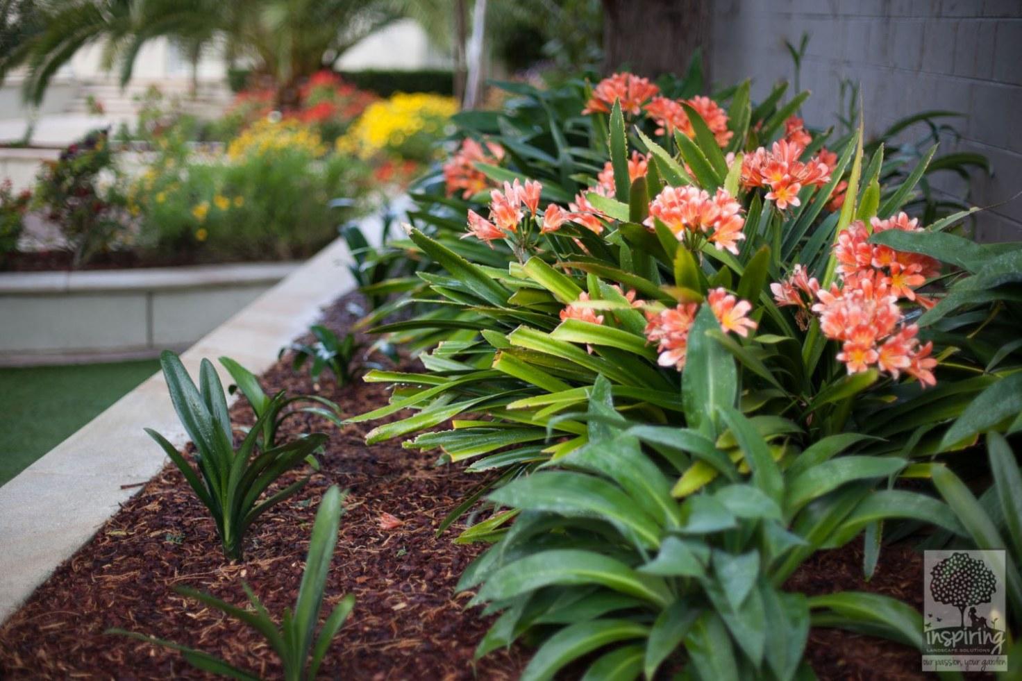 Orange flowered clivias in shade areas around pool area in Brighton landscape design in Melbourne
