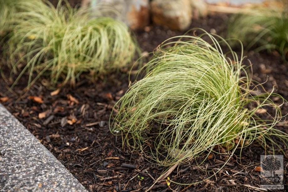 Carex albula frosty tops in Burwood landscape design by Inspiring Landscape Solutions