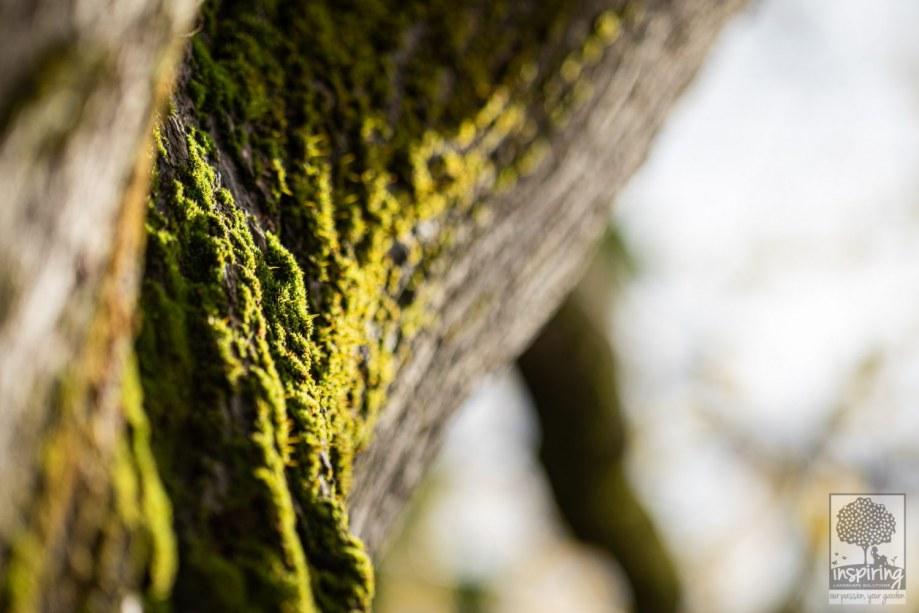 Moss on the elm tree in Burwood landscape design by Inspiring Landscape Solutions