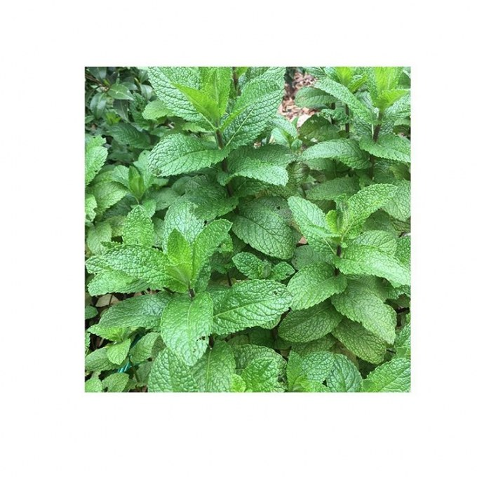 Closeup of mint in Vermont South garden design