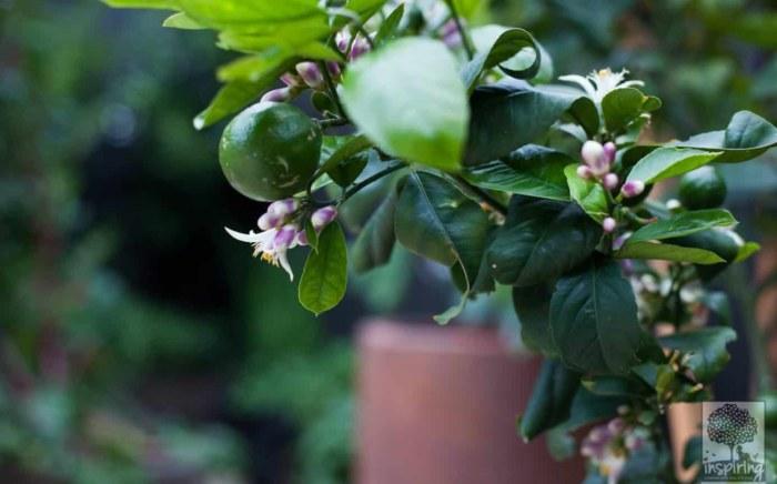 Closeup of lime espalier in Bundoora landscape design