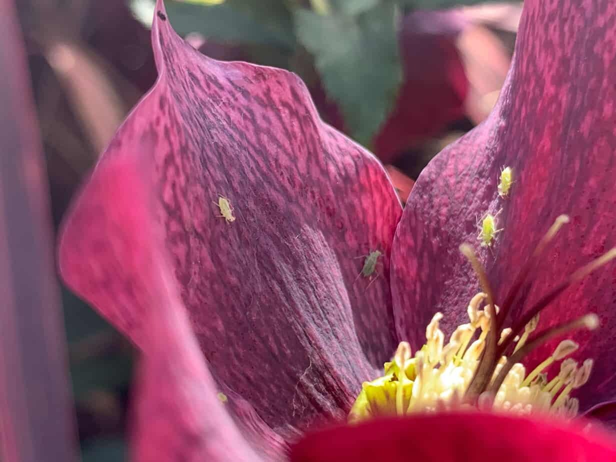 Aphids on helleborus. Landscape design Melbourne by Inspiring Landscape Solutions