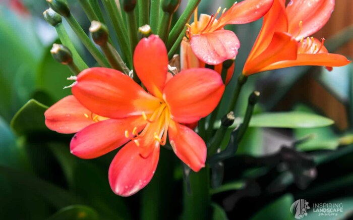 Clivia flowers in Hawthorn East landscape design