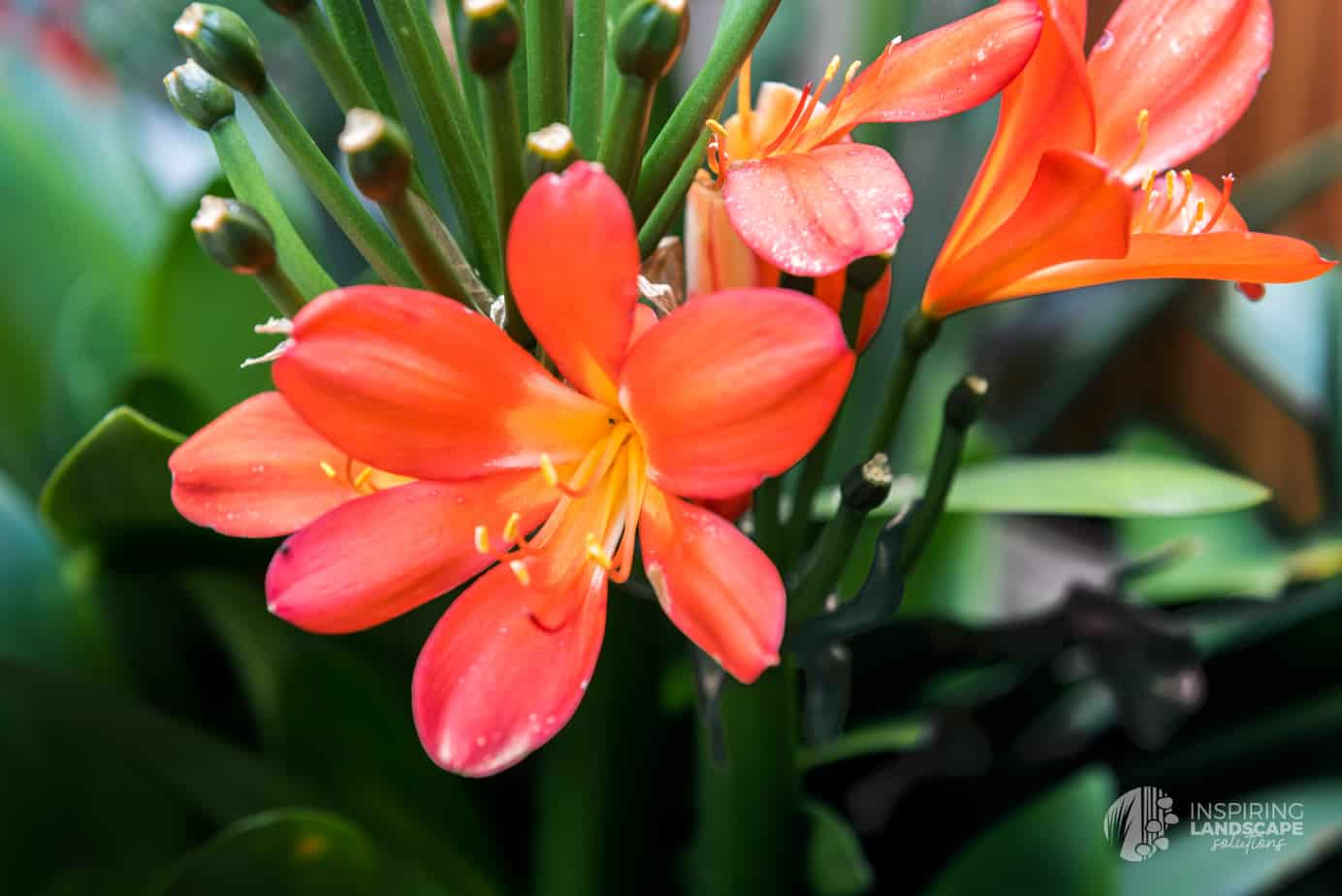 Clivia flowers in Hawthorn East landscape design