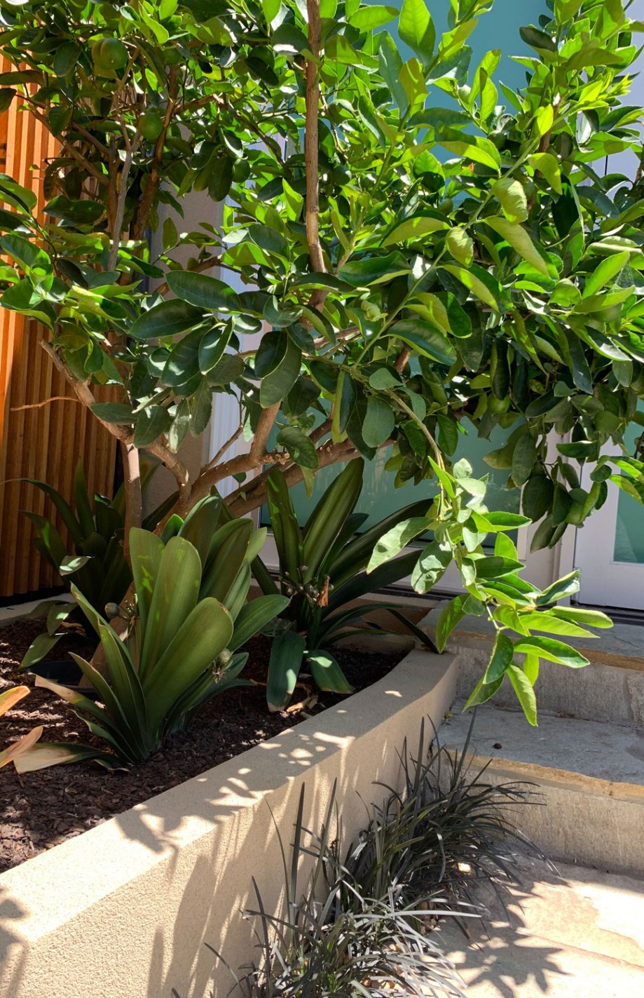 Right hand side garden bed with citrus trees and clivias in Hawthorn East courtyard garden design