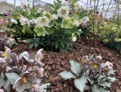 Various helleborus varieties for Melbourne