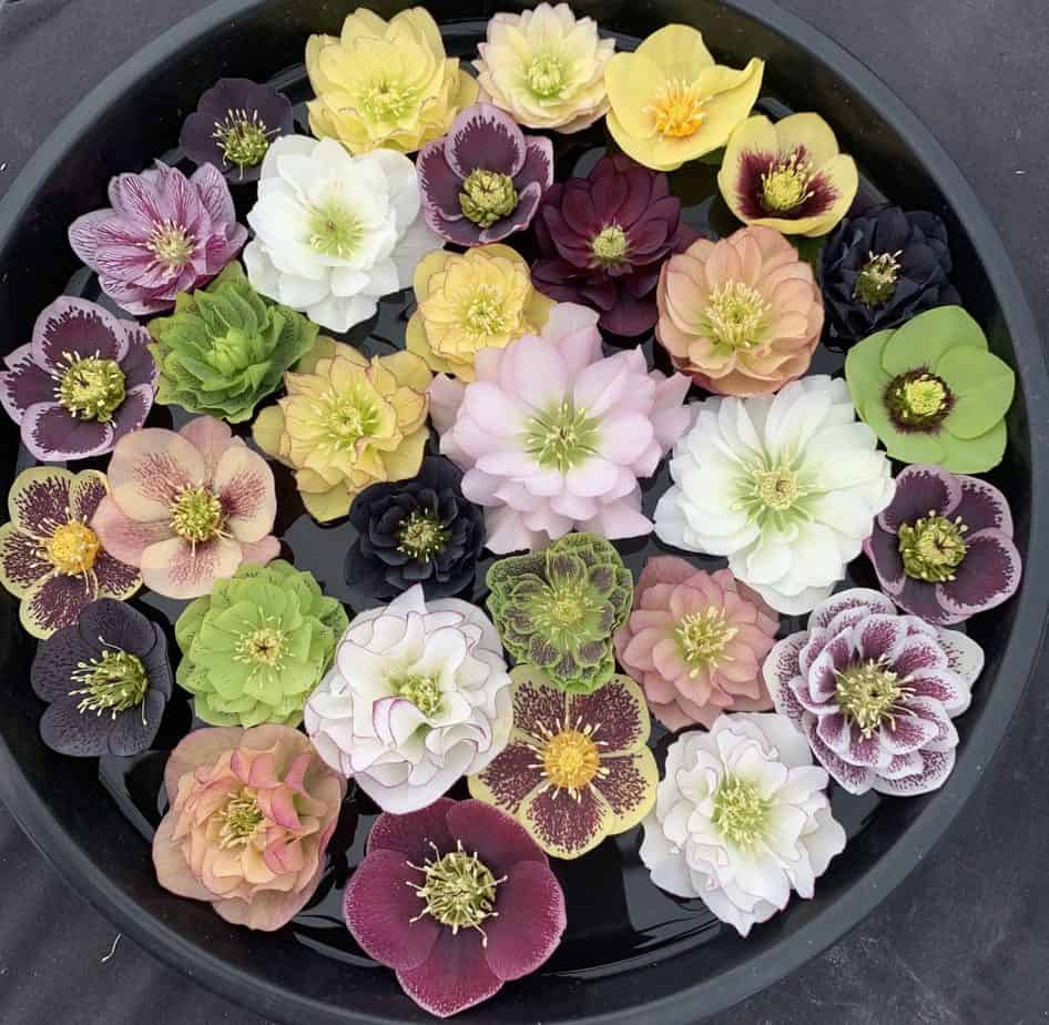 Helleborus flower range of colours from white to yellows, pinks, burgundy and black