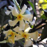Jasminum asiaticum creeper for Melbourne garden design