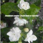 Jasminum sambac Grand Duke of Tuscany for garden design