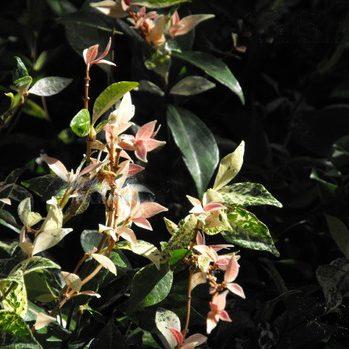 Jasmine creeper with variegated leaf for Melbourne garden design