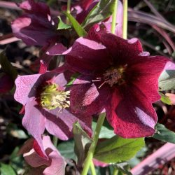 Purple hellebores in Vermont South landscape design