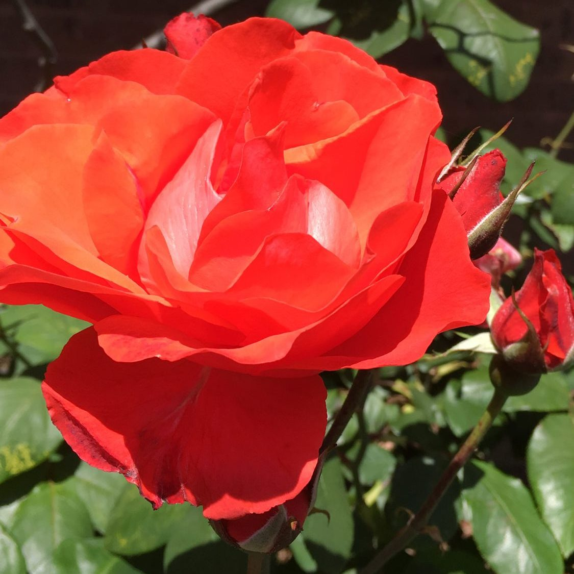 Closeup of red rose for Vermont South front garden design