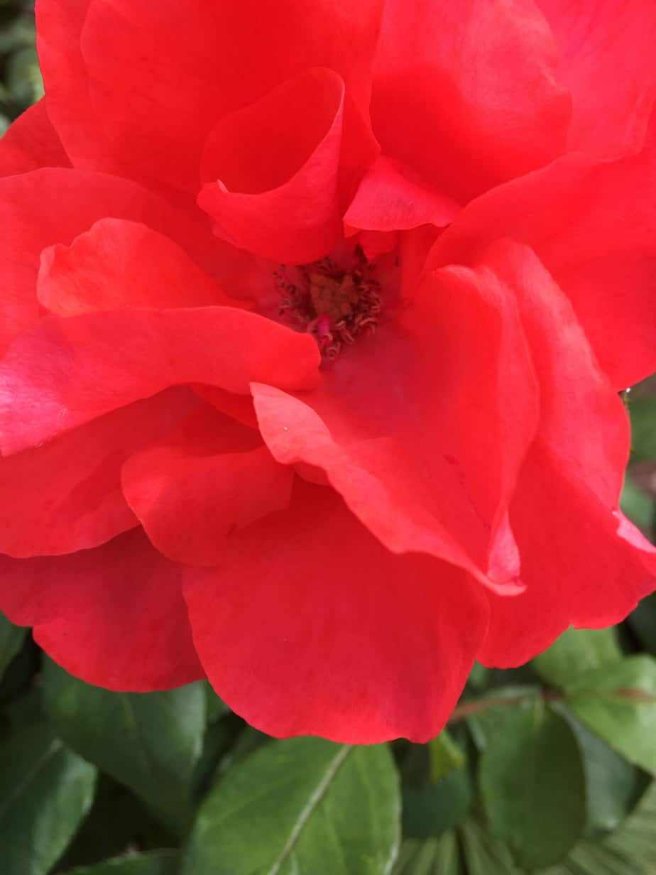 Red rose in Vermont South garden design by Parveen Dhaliwal