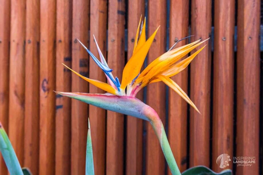A bird of paradise flower in Hawthorn East landscape design