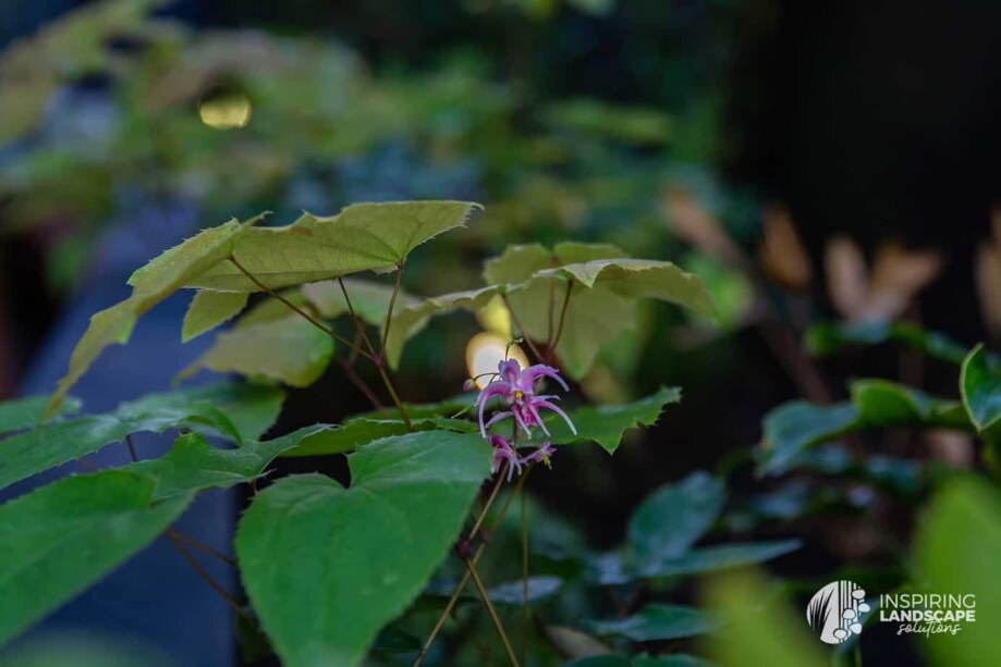 Epimedium flowers in Richmond landscape design