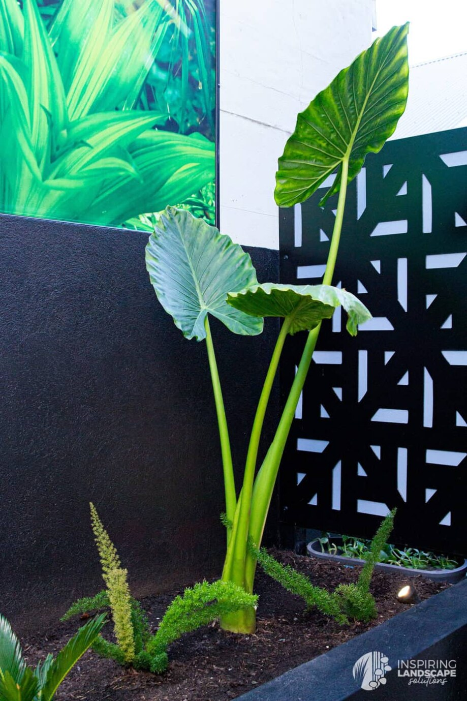 Alocasia leaves in Richmond landscape design